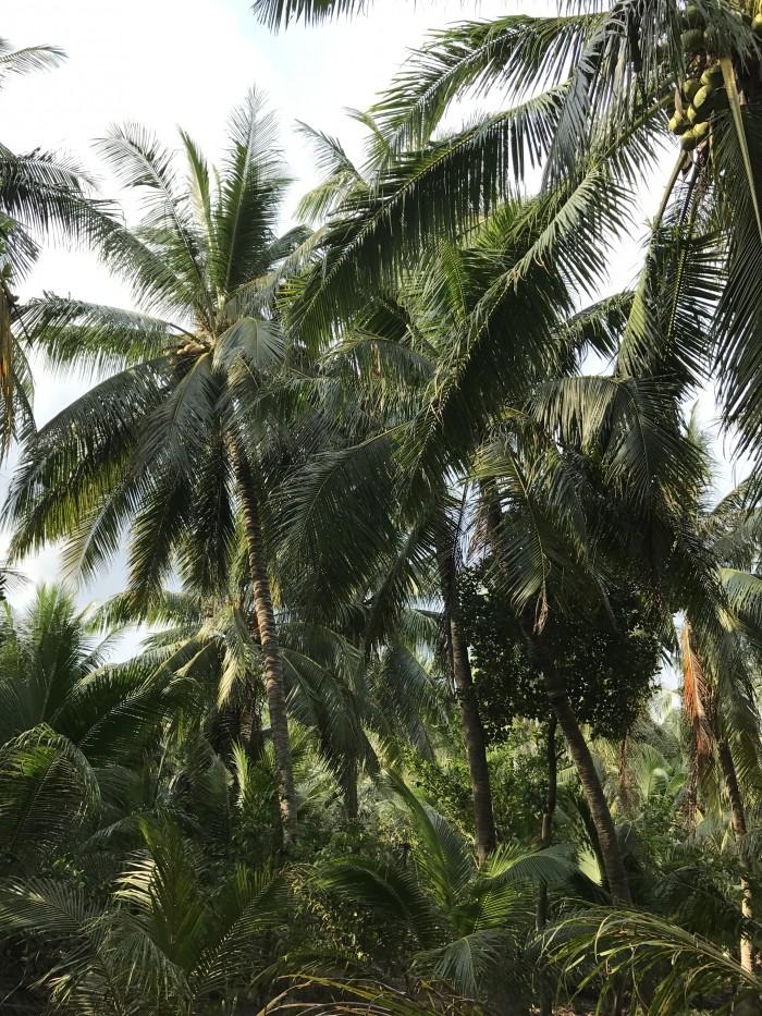 Bán đất trồng cây, đất thổ cư, Huyện Giồng Trôm, Bến Tre giá 820 triệu.
