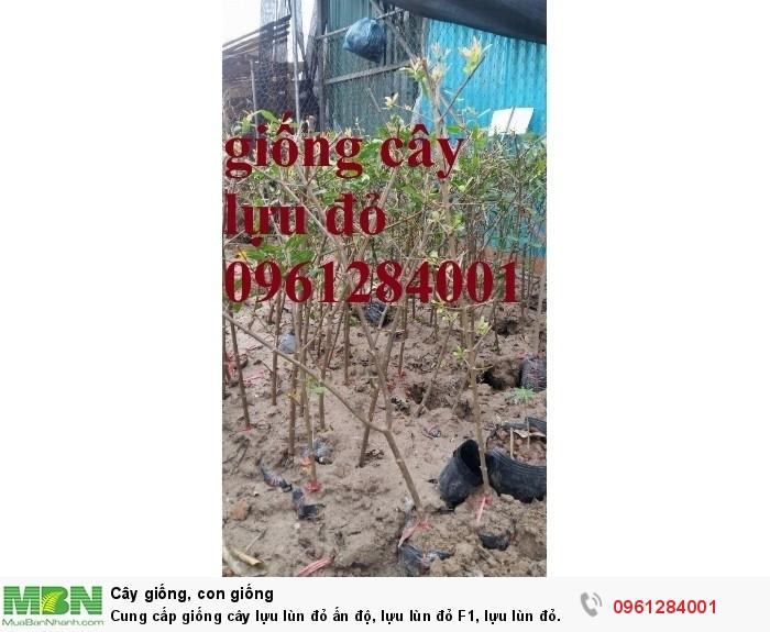 Cung cấp giống cây lựu lùn đỏ ấn độ, lựu lùn đỏ F1, lựu lùn đỏ cao sản, cây giống nhập khẩu uy tín, chất lượng2