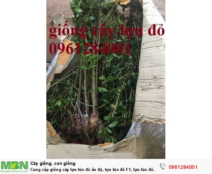 cây lựu lùn đỏ ấn độ7