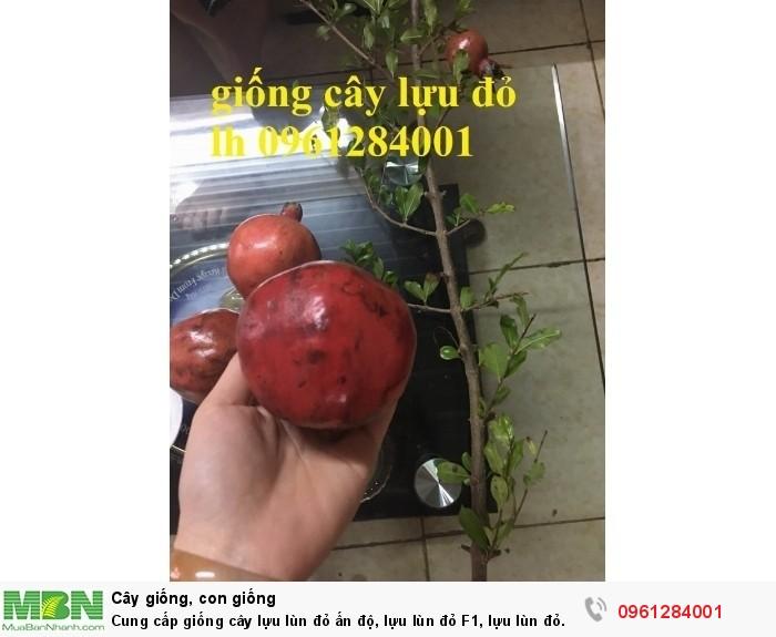 Cung cấp giống cây lựu lùn đỏ ấn độ, lựu lùn đỏ F1, lựu lùn đỏ cao sản, cây giống nhập khẩu uy tín, chất lượng14