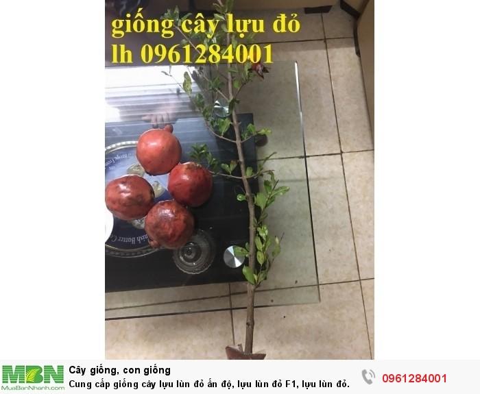Cung cấp giống cây lựu lùn đỏ ấn độ, lựu lùn đỏ F1, lựu lùn đỏ cao sản, cây giống nhập khẩu uy tín, chất lượng15