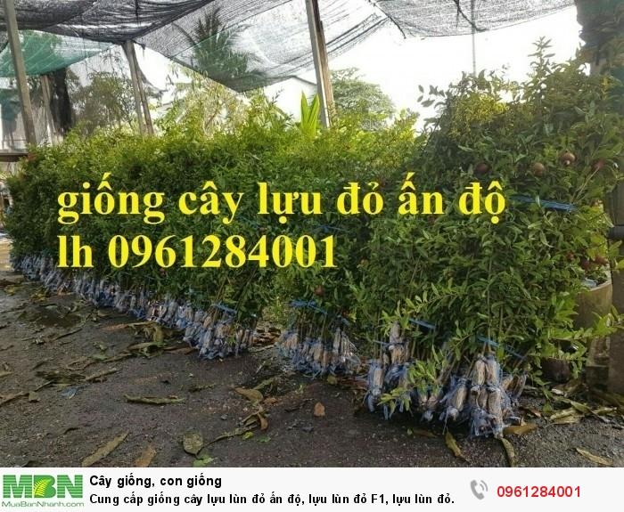 Cung cấp giống cây lựu lùn đỏ ấn độ, lựu lùn đỏ F1, lựu lùn đỏ cao sản, cây giống nhập khẩu uy tín, chất lượng16