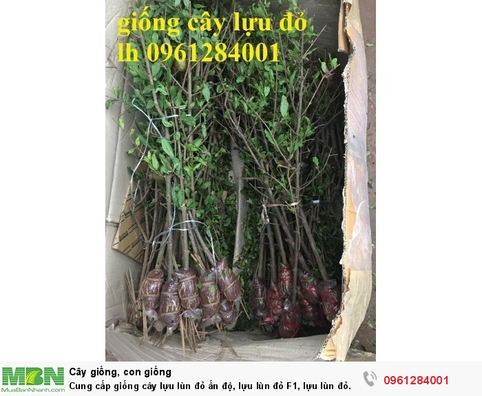 Cung cấp giống cây lựu lùn đỏ ấn độ, lựu lùn đỏ F1, lựu lùn đỏ cao sản, cây giống nhập khẩu uy tín, chất lượng17