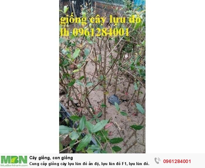 Cung cấp giống cây lựu lùn đỏ ấn độ, lựu lùn đỏ F1, lựu lùn đỏ cao sản, cây giống nhập khẩu uy tín, chất lượng18