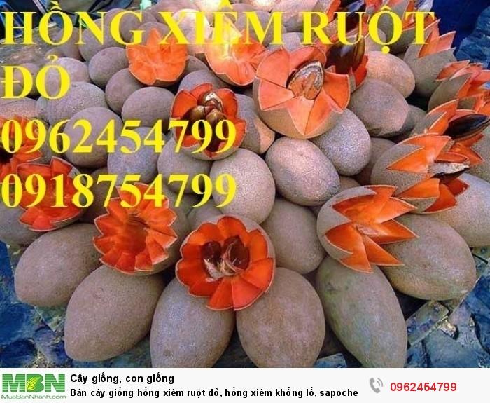 Bán cây giống hồng xiêm ruột đỏ, hồng xiêm khổng lồ, sapoche ruột đỏ, chuẩn giống nhập khẩu3