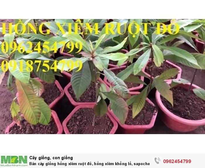 Bán cây giống hồng xiêm ruột đỏ, hồng xiêm khổng lồ, sapoche ruột đỏ, chuẩn giống nhập khẩu8