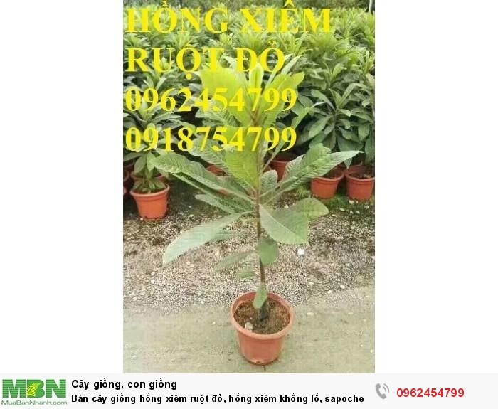 Bán cây giống hồng xiêm ruột đỏ, hồng xiêm khổng lồ, sapoche ruột đỏ, chuẩn giống nhập khẩu9