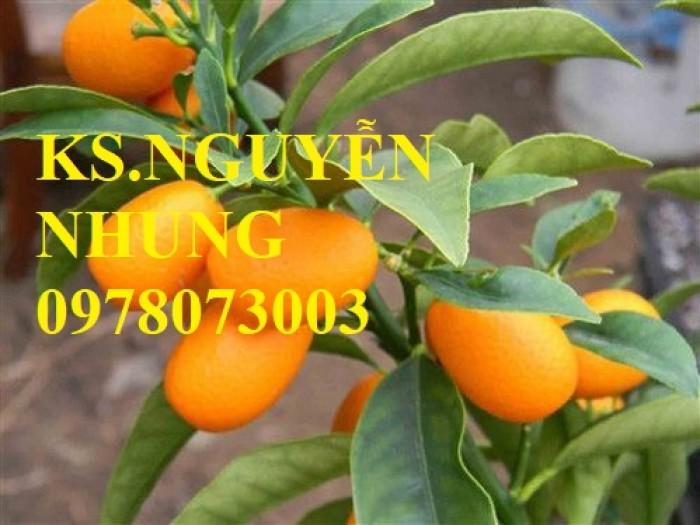 Bán cây quất ngọt, giống cây quất ngọt chuẩn F1, hướng dẫn kỹ thuật trồng, giao cây toàn quốc4