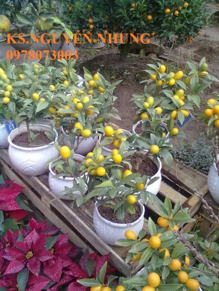 Bán cây quất ngọt, giống cây quất ngọt chuẩn F1, hướng dẫn kỹ thuật trồng, giao cây toàn quốc0
