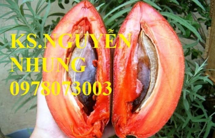 Cung cấp giống cây hồng xiêm ruột đỏ nhập khẩu, cam kết chất lượng cây giống4