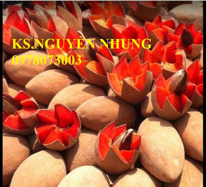 Cung cấp giống cây hồng xiêm ruột đỏ nhập khẩu, cam kết chất lượng cây giống0