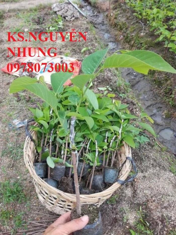 Cây na bở Đài Loan, bán giống cây na bở Đài Loan uy tín, chất lượng, cho năng suất cao0