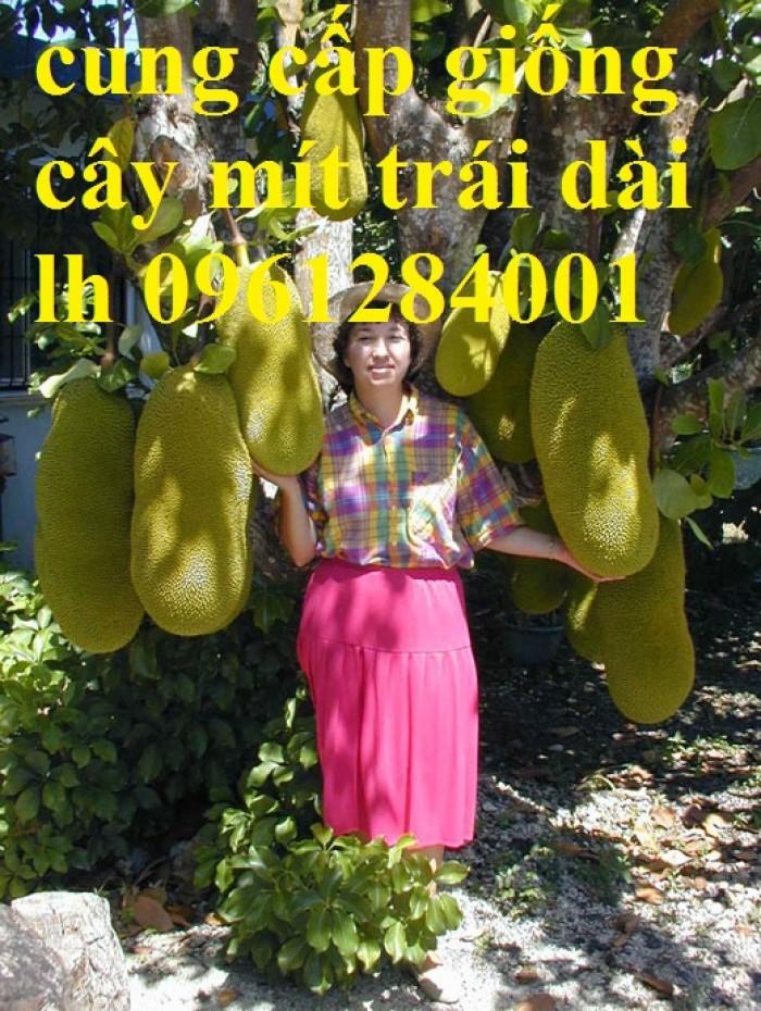 mít trái dài malai4
