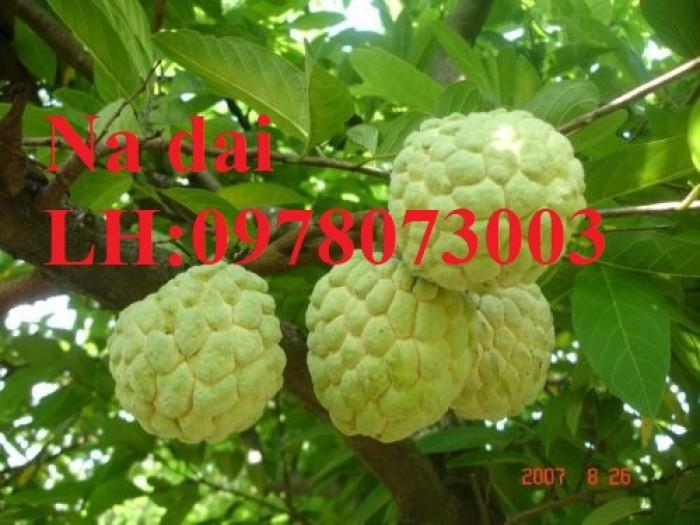 Chuyên cung cấp giống cây na các loại, na dai, na thái lan, na bở đài loan, năng suất cao7