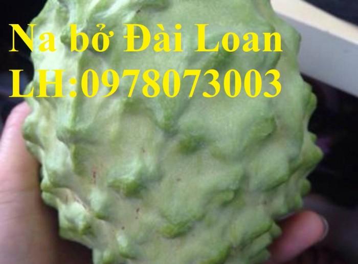 Chuyên cung cấp giống cây na các loại, na dai, na thái lan, na bở đài loan, năng suất cao5