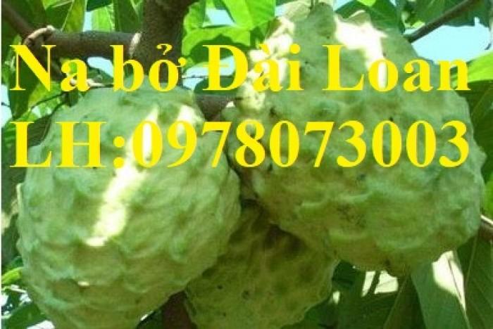 Chuyên cung cấp giống cây na các loại, na dai, na thái lan, na bở đài loan, năng suất cao4