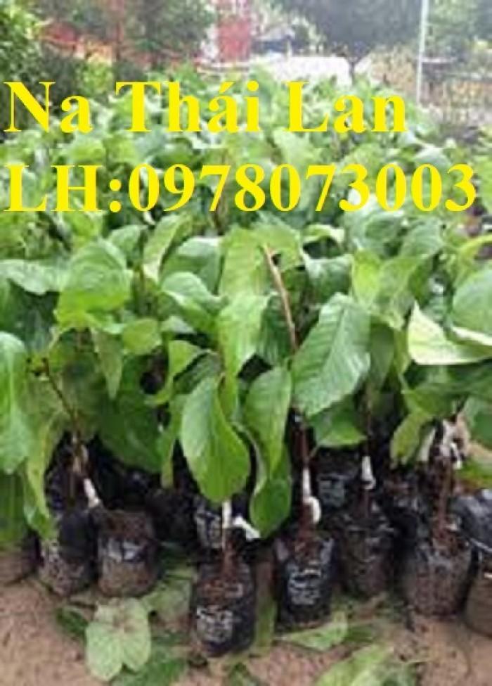 Chuyên cung cấp giống cây na các loại, na dai, na thái lan, na bở đài loan, năng suất cao0