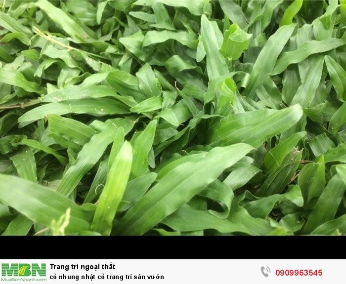 Cỏ nhung nhật cỏ trang trí sân vườn0