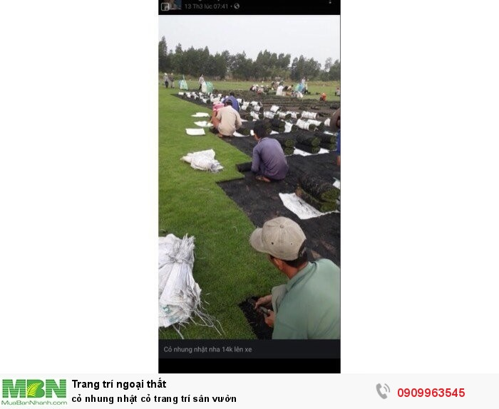 Cỏ nhung nhật cỏ trang trí sân vườn2
