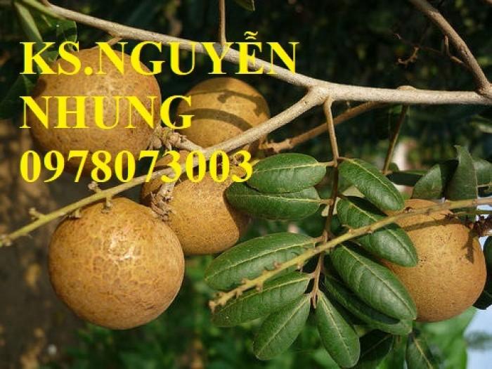 Chuyên cung cấp giống cây nhãn các loại, giống nhãn ido, nhãn Miền Thiết, nhãn Hà Tây T6, nhãn hương chi4