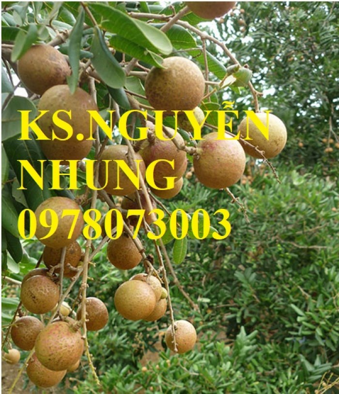 Chuyên cung cấp giống cây nhãn các loại, giống nhãn ido, nhãn Miền Thiết, nhãn Hà Tây T6, nhãn hương chi2