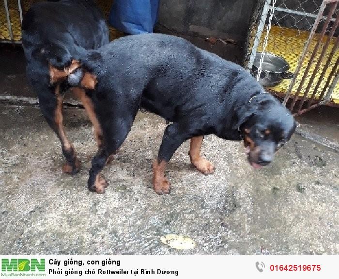 Phối giống chó Rottweiler tại Bình Dương1