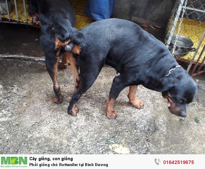 Phối giống chó Rottweiler tại Bình Dương2