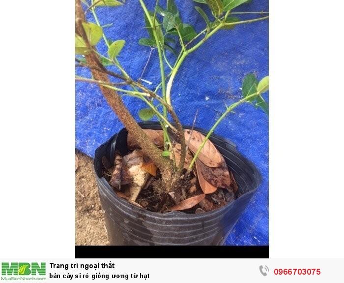 Cung cấp cây si rô giống ươm từ hạt2