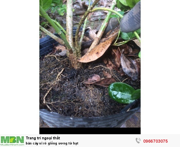 Cung cấp cây si rô giống ươm từ hạt3