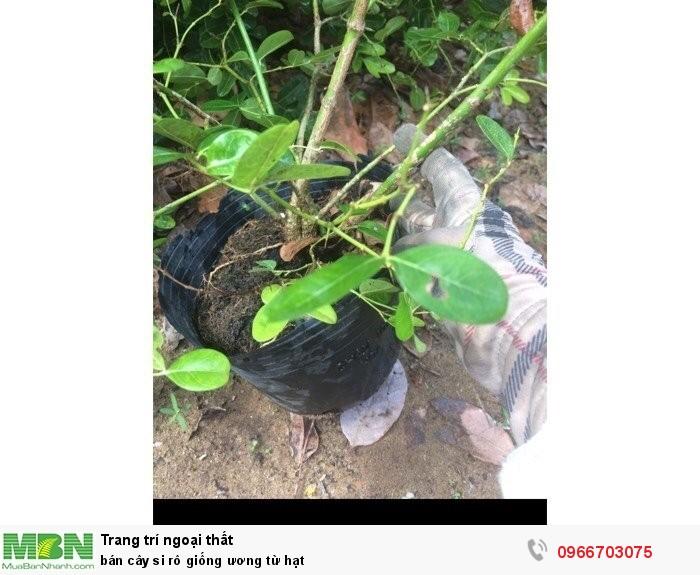 Cung cấp cây si rô giống ươm từ hạt4