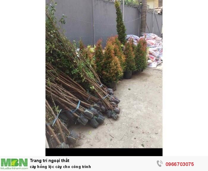 Cây hồng lộc cây cho công trình4