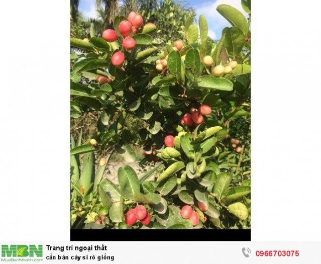Cần bán cây si rô giống