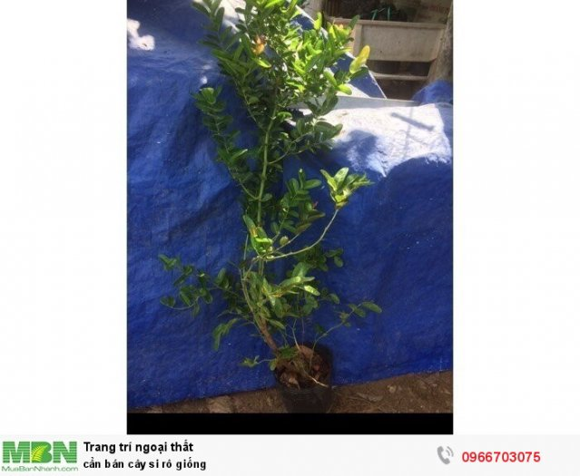 Cần bán cây si rô giống1