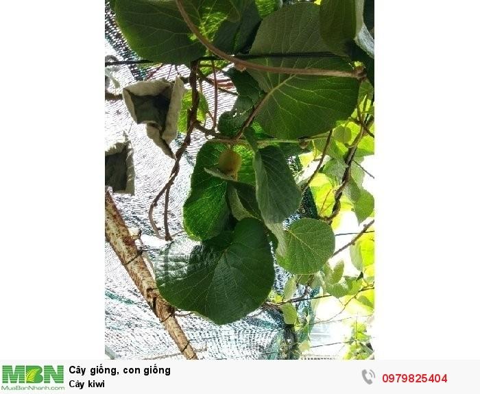 Cây kiwi2