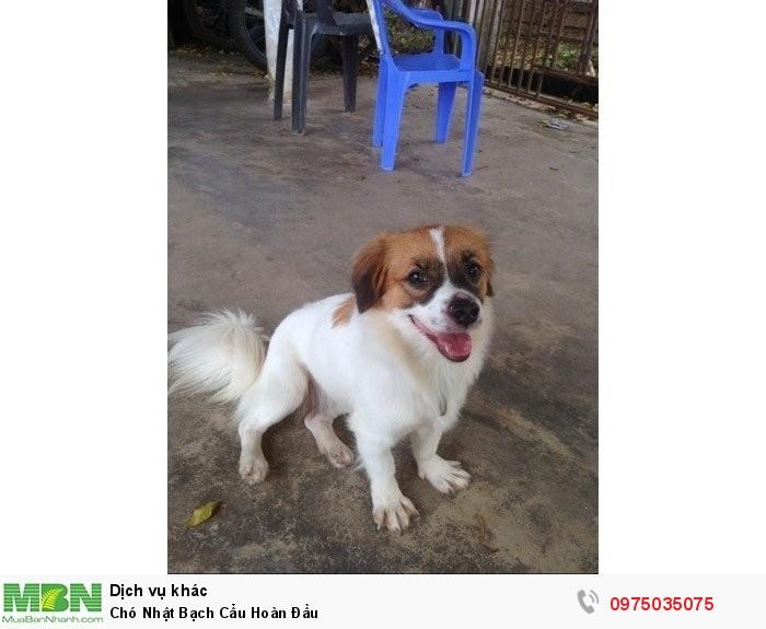 Chó Nhật Bạch Cẩu Hoàn Đầu0