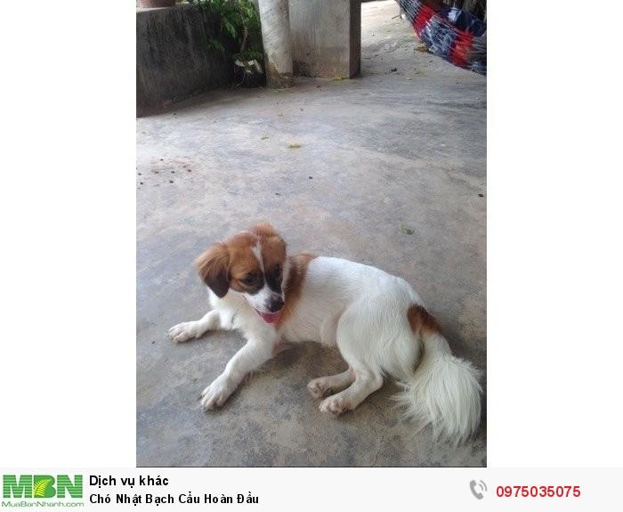 Chó Nhật Bạch Cẩu Hoàn Đầu4