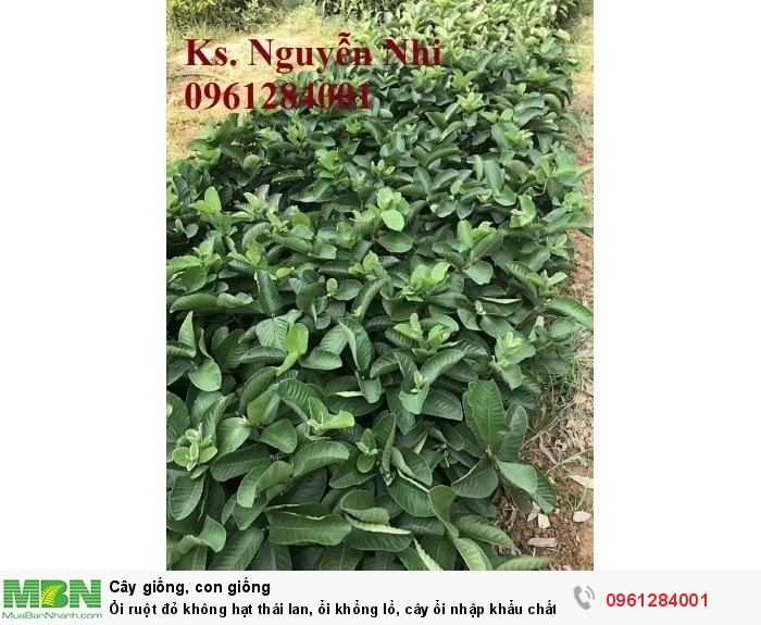 Ổi ruột đỏ không hạt thái lan, ổi khổng lồ, cây ổi nhập khẩu chất lượng cao