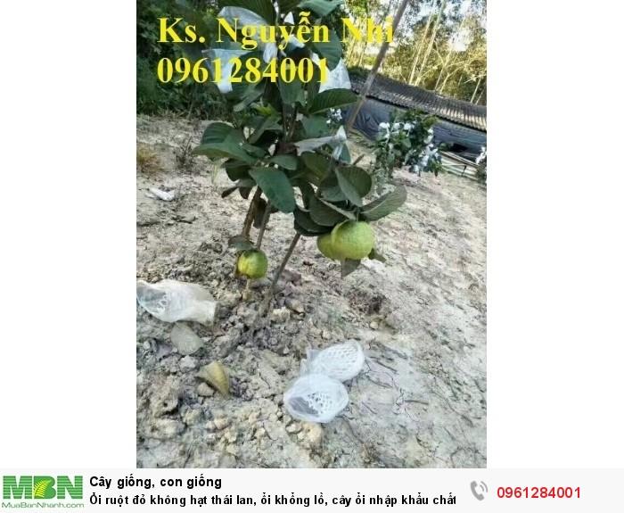 trồng cây ổi không hạt ruột đỏ3