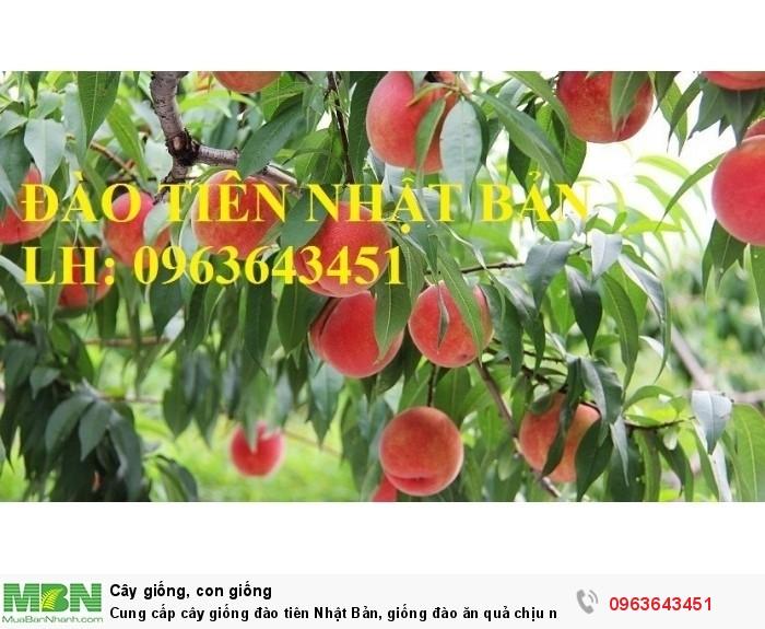 Cung cấp cây giống đào tiên Nhật Bản, giống đào ăn quả chịu nhiệt Nhật Bản, đào Nhật Bản chịu nhiệt