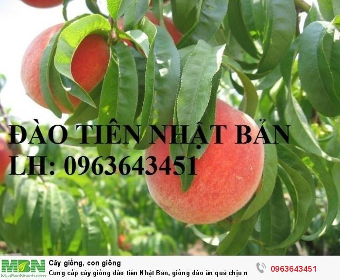 Cung cấp cây giống đào tiên Nhật Bản, giống đào ăn quả chịu nhiệt Nhật Bản, đào Nhật Bản chịu nhiệt2