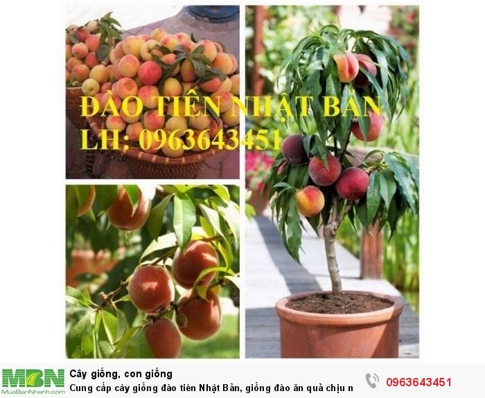 Cung cấp cây giống đào tiên Nhật Bản, giống đào ăn quả chịu nhiệt Nhật Bản, đào Nhật Bản chịu nhiệt5