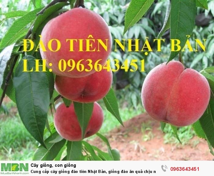 Cung cấp cây giống đào tiên Nhật Bản, giống đào ăn quả chịu nhiệt Nhật Bản, đào Nhật Bản chịu nhiệt4