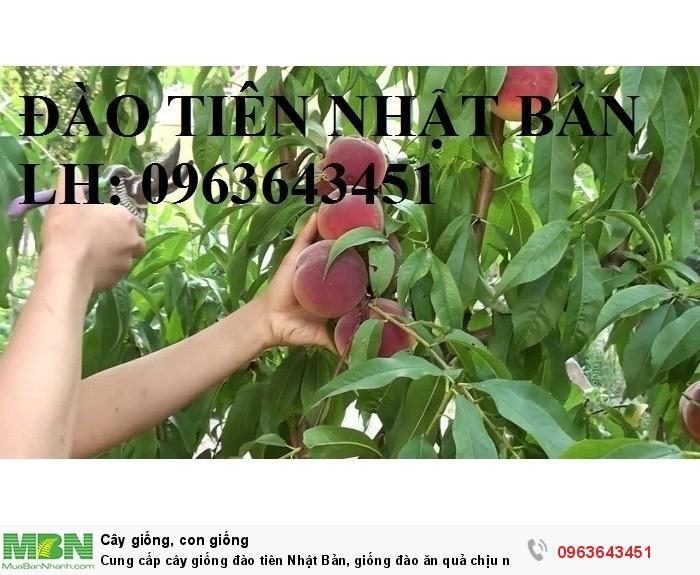 Cung cấp cây giống đào tiên Nhật Bản, giống đào ăn quả chịu nhiệt Nhật Bản, đào Nhật Bản chịu nhiệt6