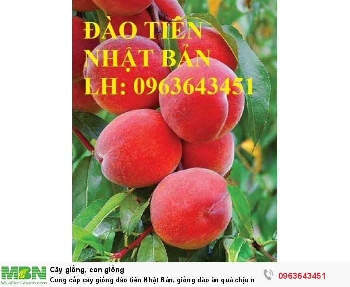 Cung cấp cây giống đào tiên Nhật Bản, giống đào ăn quả chịu nhiệt Nhật Bản, đào Nhật Bản chịu nhiệt7