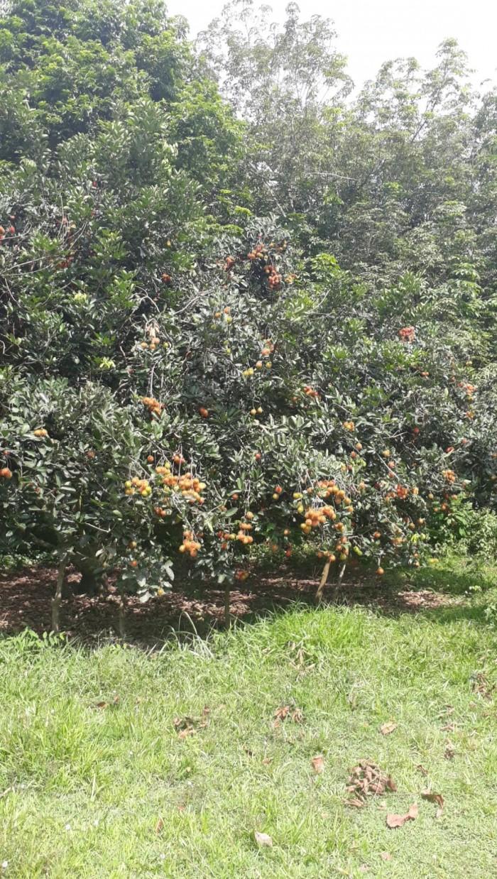 Đất sau BV An Nhơn Tây, vườn trái cây 2 mẫu 1