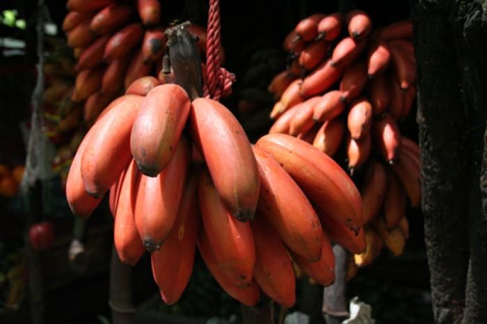 Cây giống chuối đỏ, chuối đỏ, cây chuối đỏ, cây chuối, thông tin cây chuối đỏ1