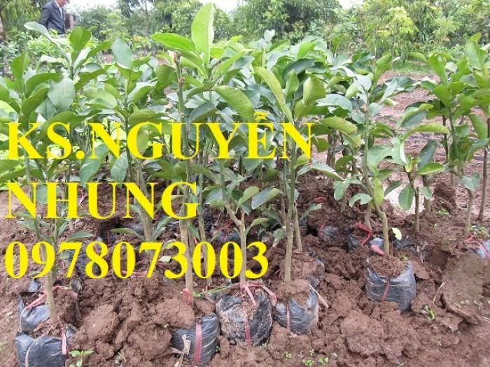 Chuyên cung cấp giống cây bưởi năm roi chuẩn giống, năng suất cao, giá cả hợp lý0