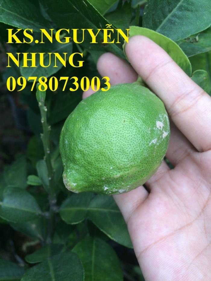Địa điểm bán giống cây chanh vàng eureka chuẩn giống, năng suất cao, giao cây toàn quốc1