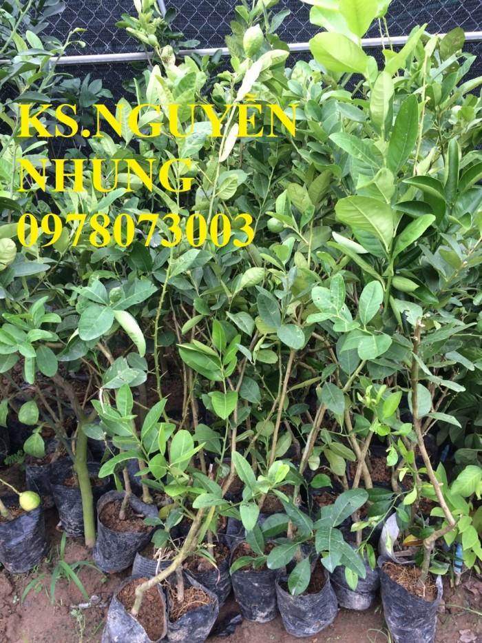 Địa điểm bán giống cây chanh vàng eureka chuẩn giống, năng suất cao, giao cây toàn quốc2