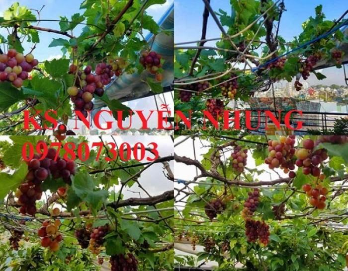 Cung cấp giống cây nho pháp, chuẩn giống, siêu ngọt, năng suất cao3